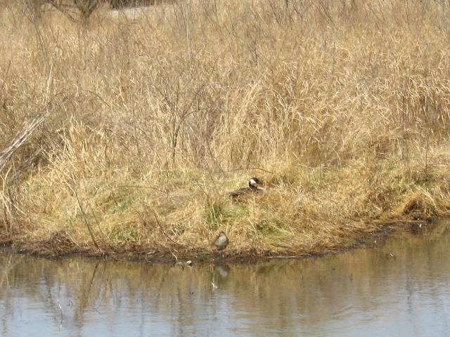 Goose on her nest