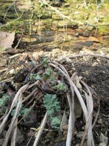 Early Celandine poppy on a south-facing hillside