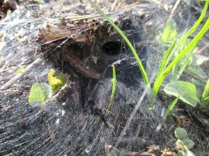 Tunnel spider web