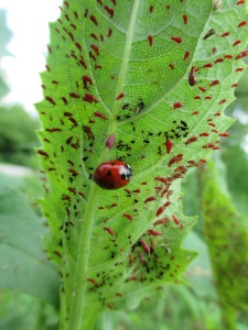 Lady Beetle with Aphids