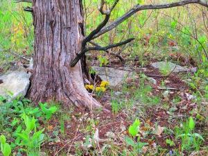 Hoary puccoon in cedar stump
