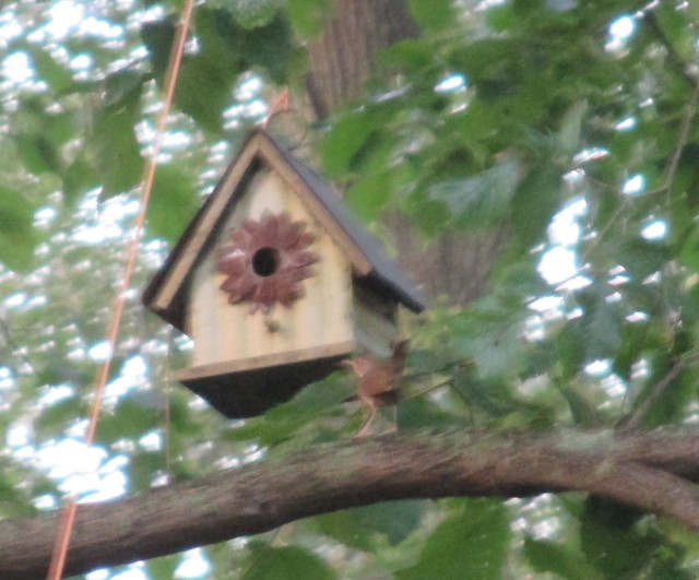 Wren outside house-fuzzy but discernable