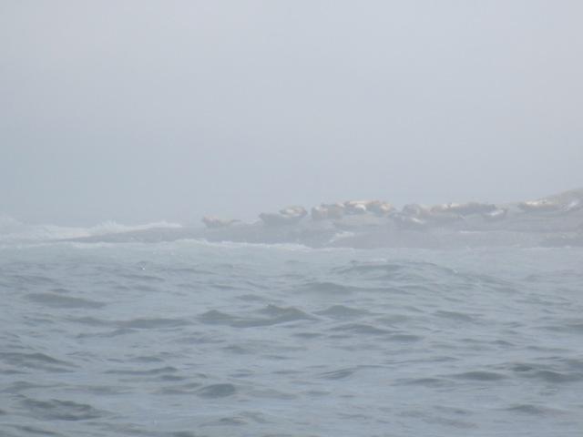 Harbor and grey seals