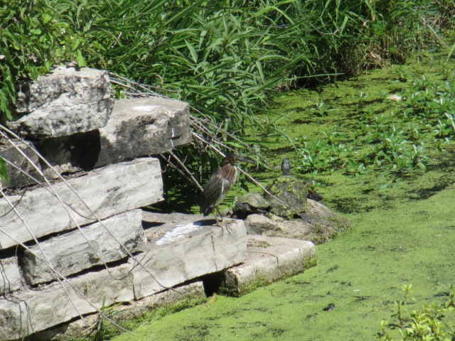 green heron and sunning turtles